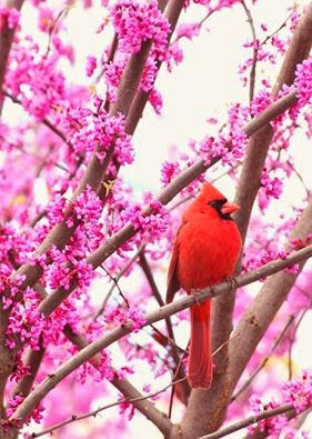 Indiana State Bird - Red Cardinal