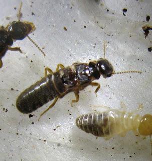 Imago of Protohamitermes globiceps