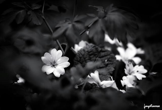 nature en Haute Savoie, fleurs de printemps