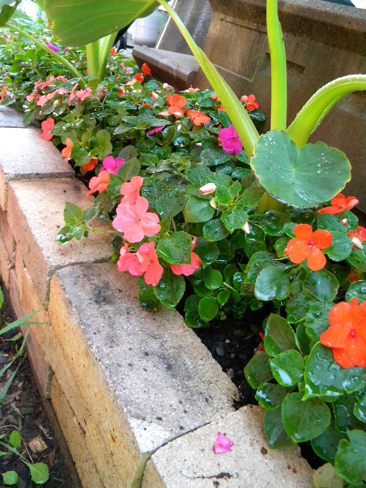 Impatiens And Downy Mildew Dont Give Up Anna Banana Goes Gardening