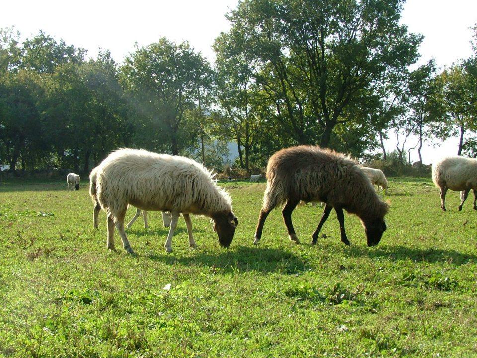 Paestum eventi la tosatura delle pecore for Planimetrie tradizionali della fattoria