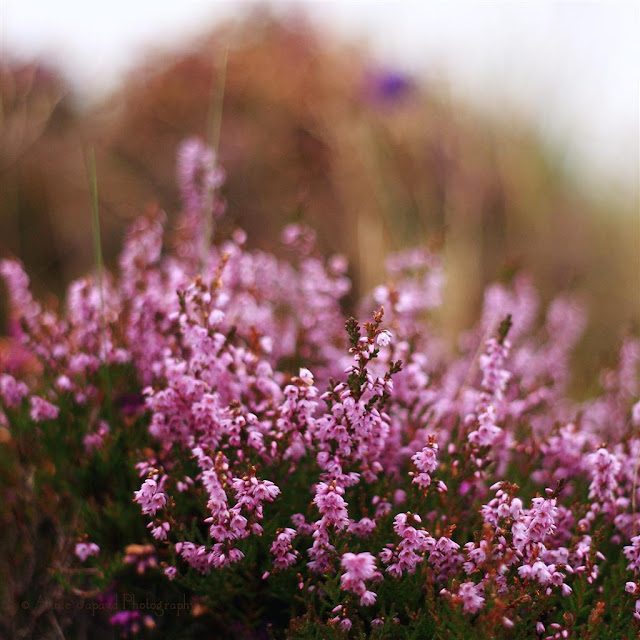 purple heather plants in the grass