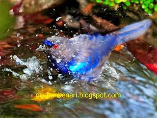 Mengenal Burung Cucak Biru