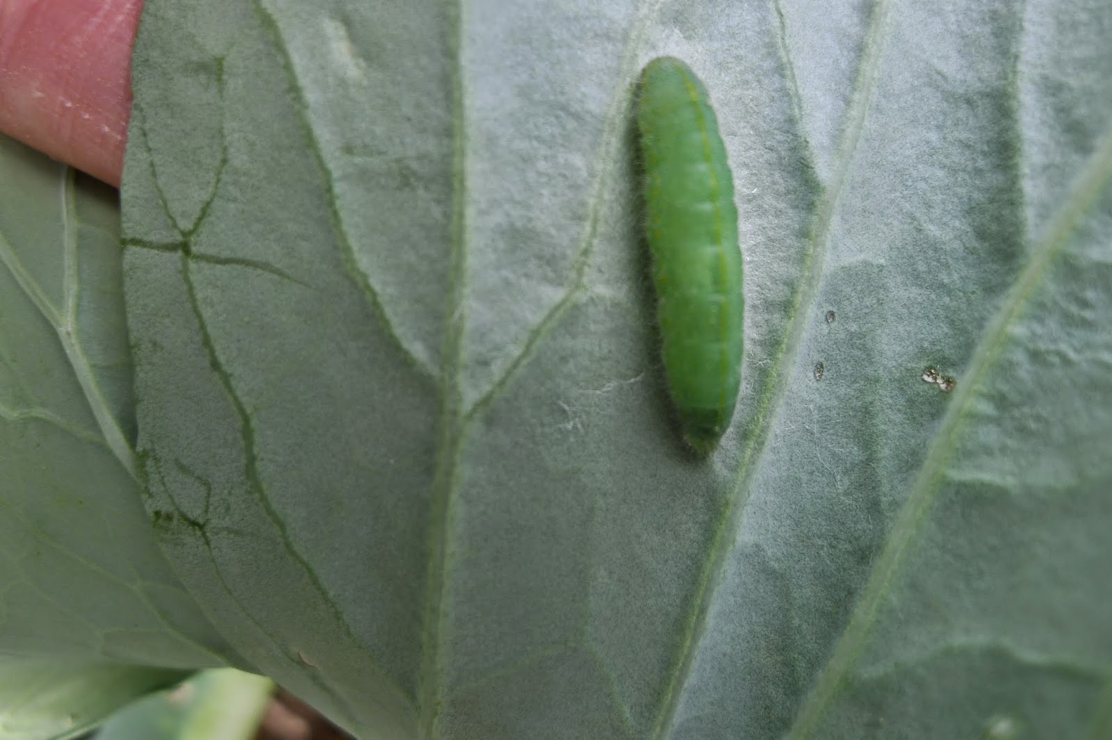 cabbage worm, organic pest control, urban farming