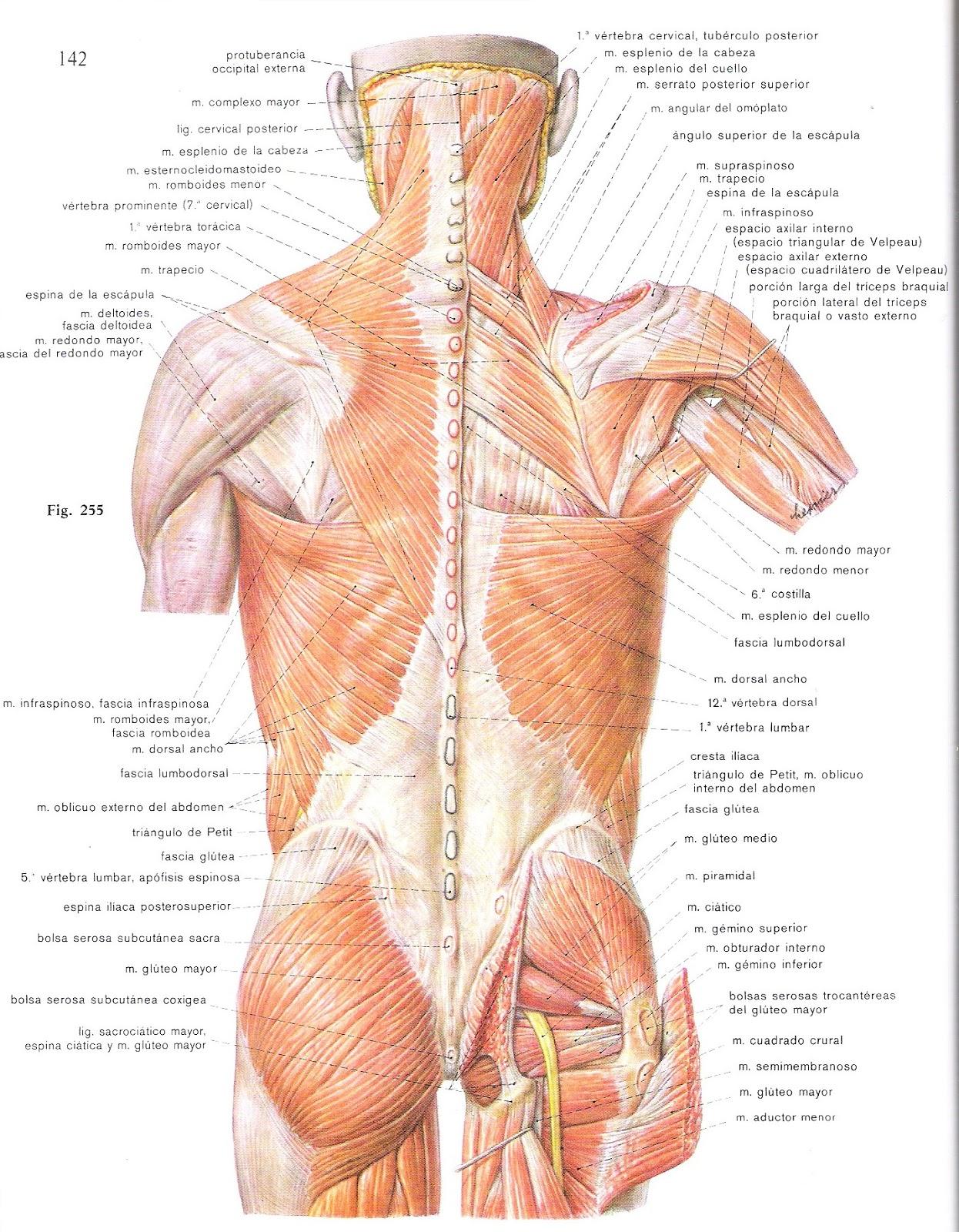 Encantador Diagrama De Músculos De La Espalda Superior Composición ...