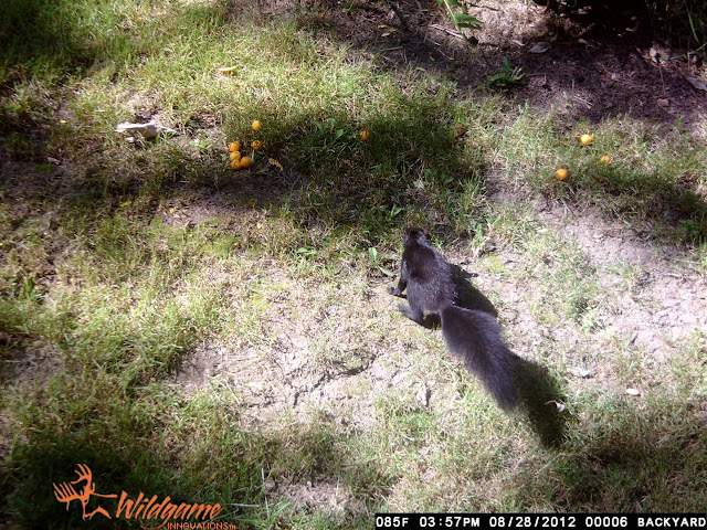 trail cam squirrel, cheeseballs, bait, time, yard, backyard