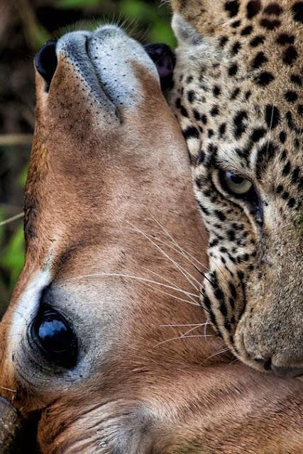 الفهد يطبق على حنجرة الظبي 2