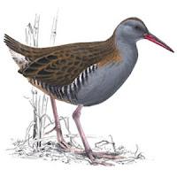 water rail bird