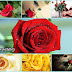 Beautiful Rose Pictures