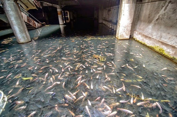Pasaraya Terbiar Di Bangkok Jadi Tempat Pembiakan Ikan (10 Gambar)