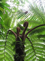 Fougère arborescente, Parc National de Guadeloupe