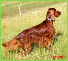 Cani da caccia cerca ferma e seguita for Setter irlandese carattere