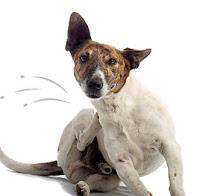 un perro con pulgas