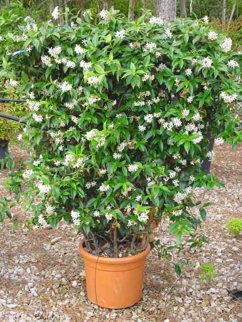 enredaderas o trepadoras con flor resistentes a los frios de