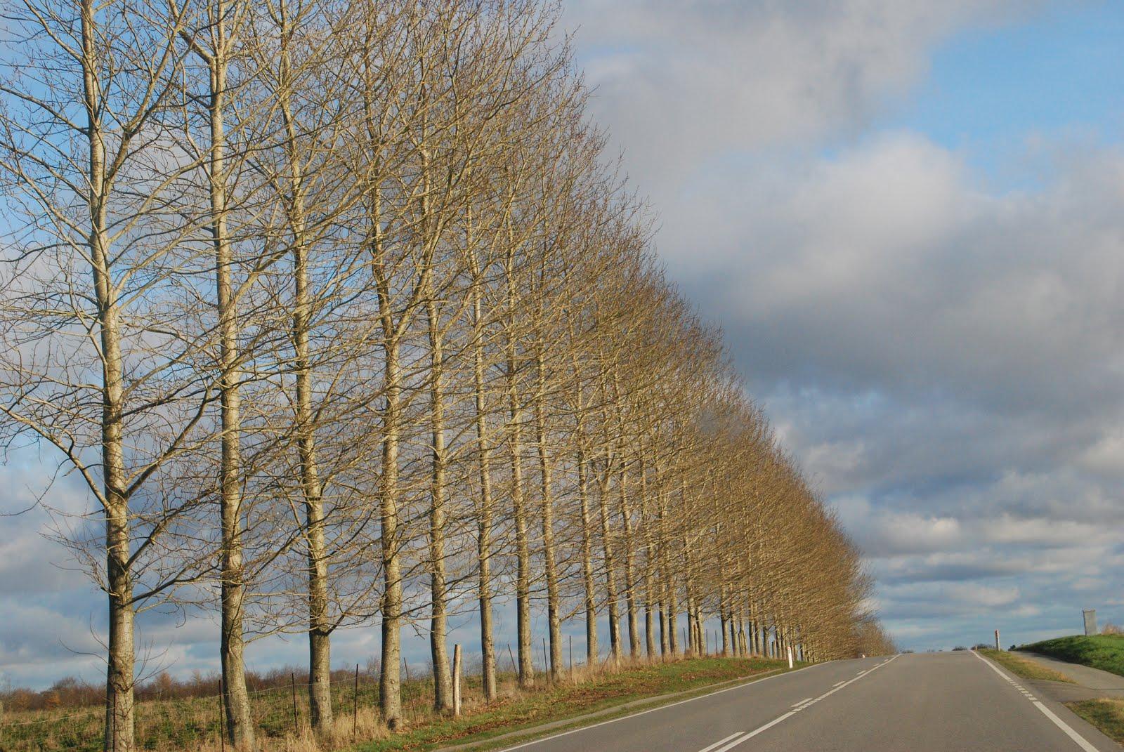 Poplars in November