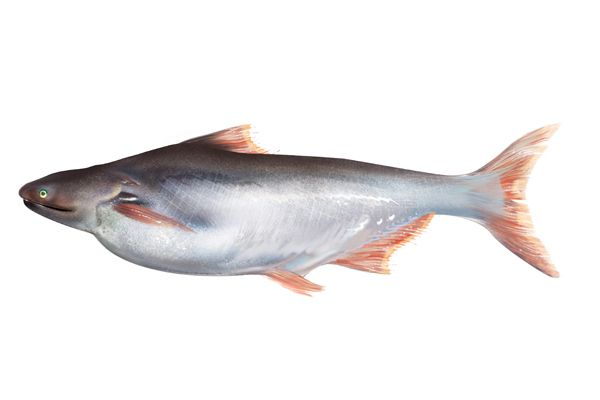 Is Basa Fish Good For Dogs