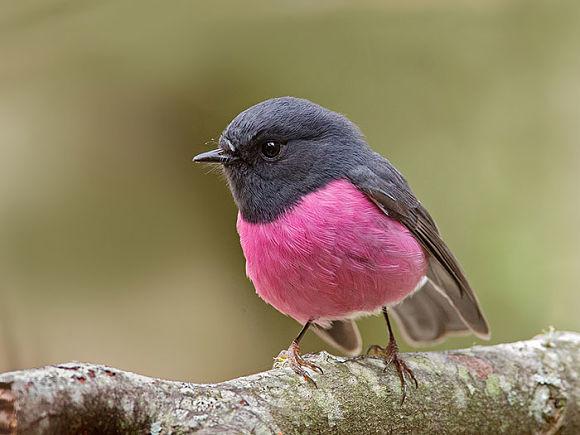 Petirrojo rosa