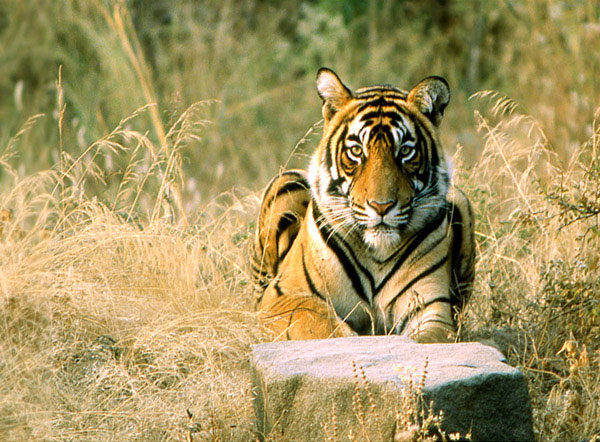 Tiger at Ranthambore National Park