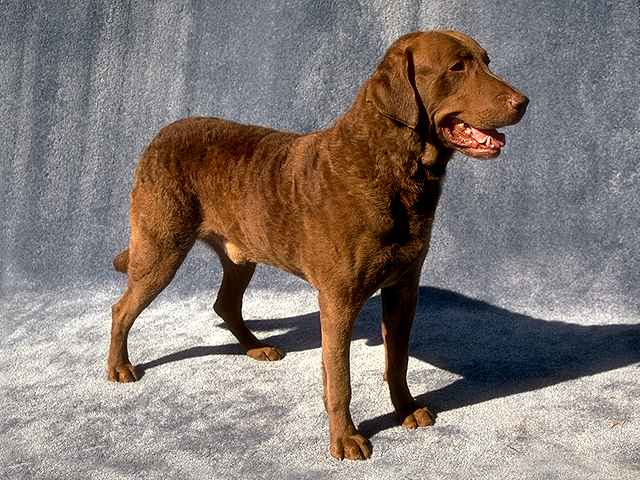 Brown dogs breeds