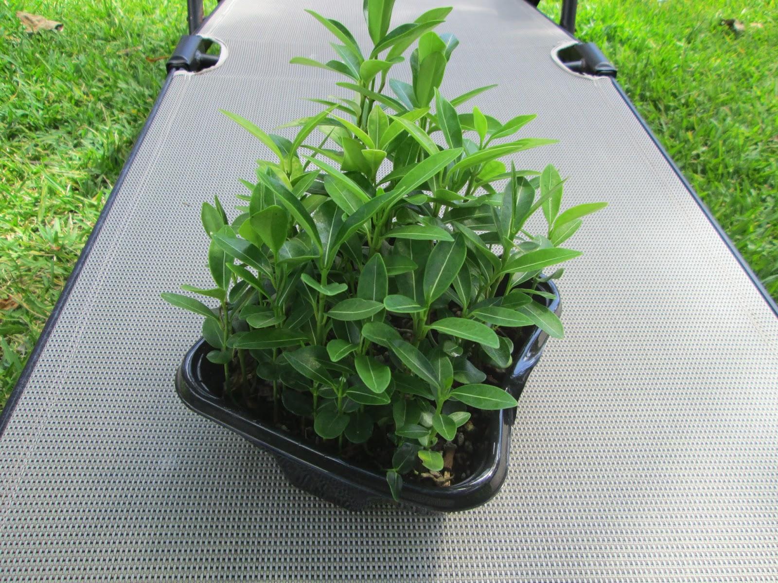Garden Notes From Hawaii Stephanotis Vine Stephanotis Floribunda