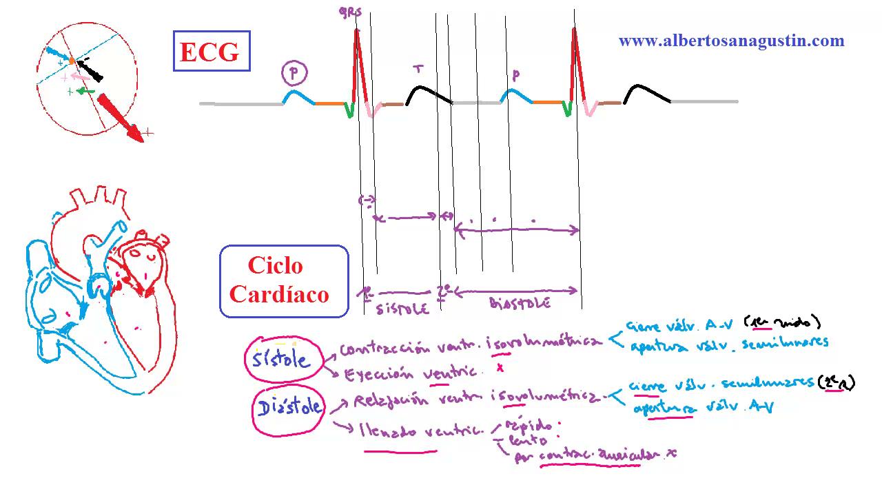 sistema cardiovascular, ciclo cardíaco, electrocardiograma