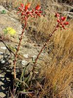 Lance-leaf dudleya on North Trail, Griffith Park