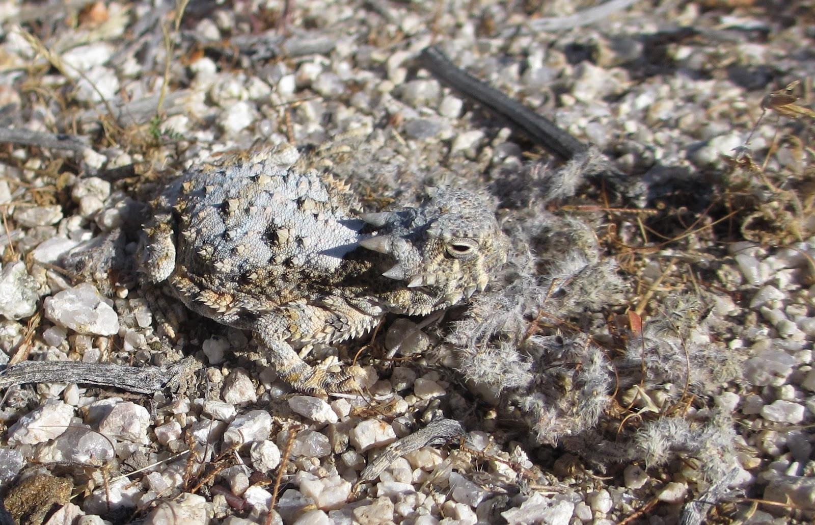 Cannundrums: Southern Desert Horned Lizard