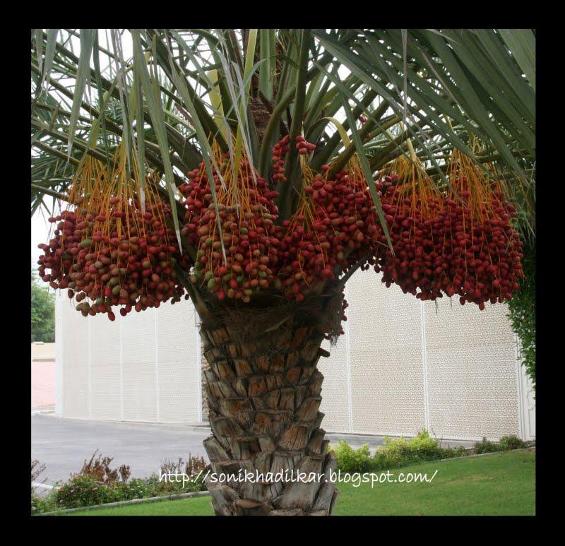 Is date a fruit