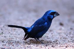 azulão