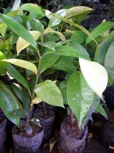 Supplier Bibit Pohon Buah