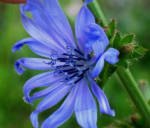 Cornflower - It's ecological balance