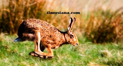 Brown Hare hewan cepat