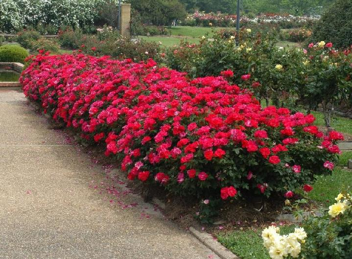 Temperate Climate Permaculture: Permaculture Plants: Roses, an ...