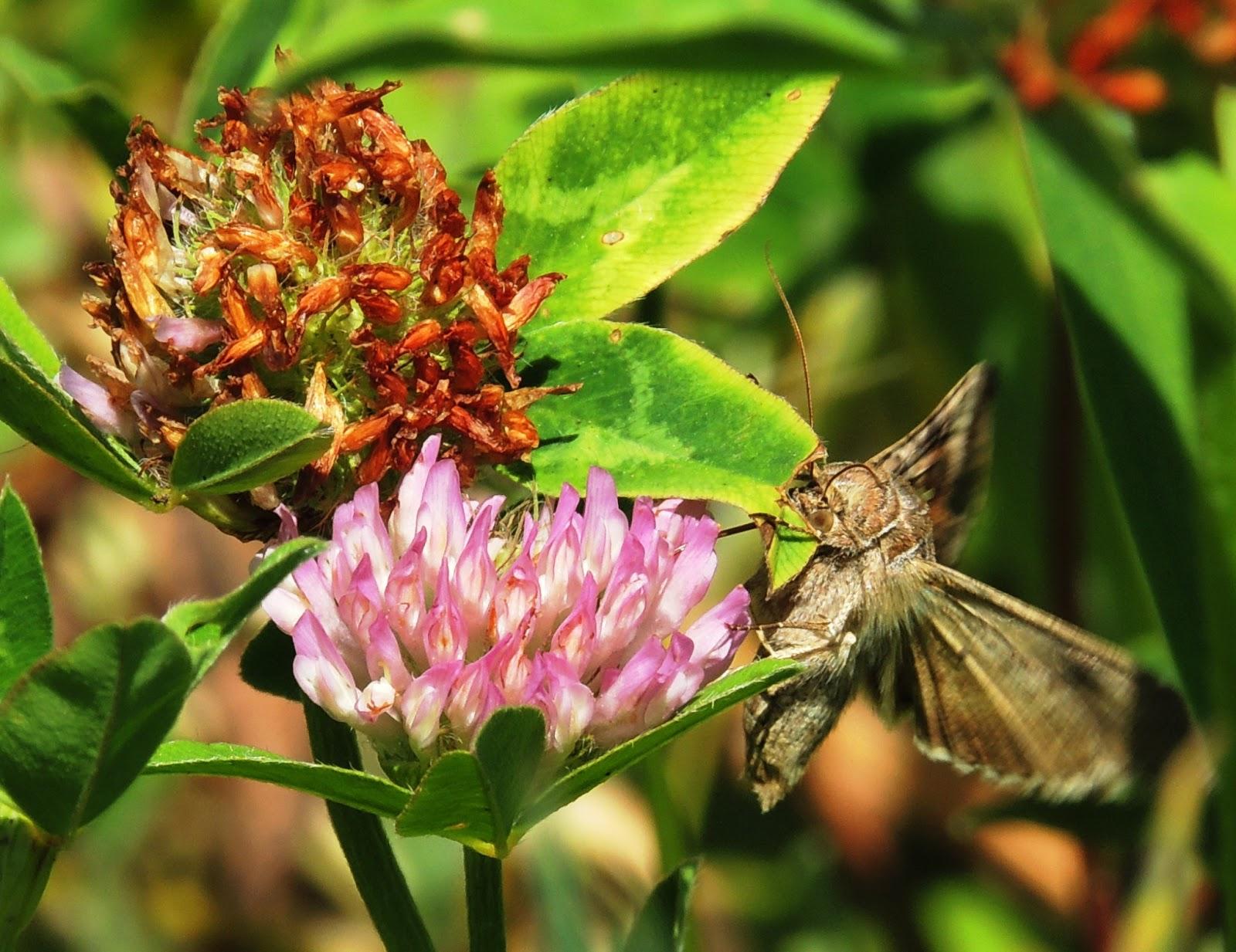 La mariposa libando néctar