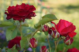 ..... rosor .....