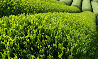 Where Does Green Tea Come From