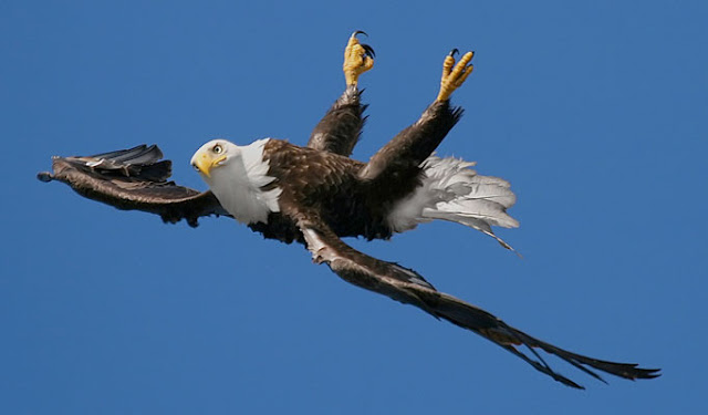 The amazing moment a bird of prey does a loop-the-loop (Photos)