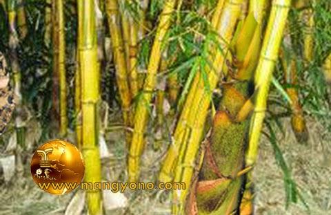 FOTO: Rebung bambu kuning