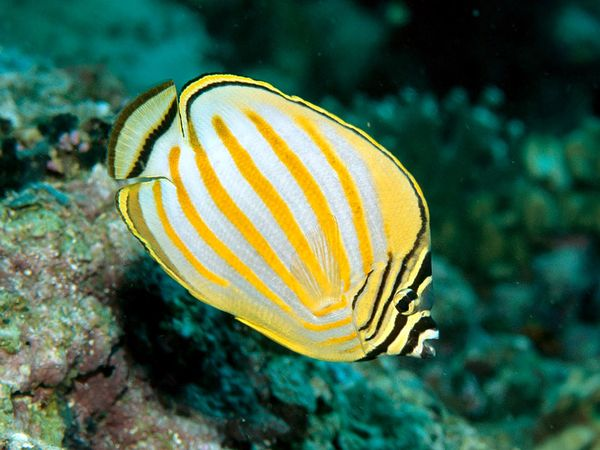 Butterfly fish for Freshwater butterfly fish