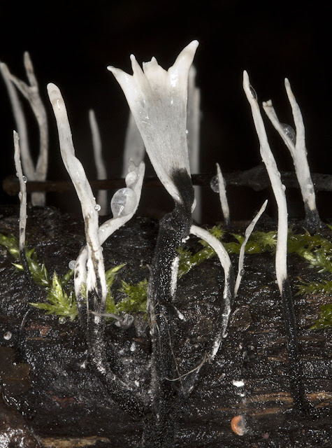 Fungus, Candlesnuff, Xylaria hypoxylon, growing on a rotting fallen branch.  aka Stag's-horn Fungus. Near Leaves Green, 3 December 2011.