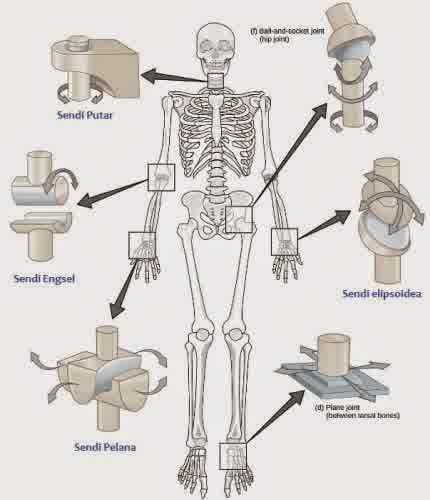 Jenis dan Fungsi Serta Pengertian Hubungan Antar Tulang