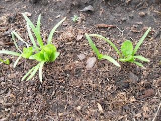 17 мая, у шпината появились первые настоящие листочки