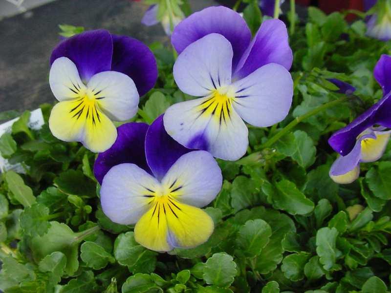 Viola cornuta plantes jardineria hivern Garden Gaià