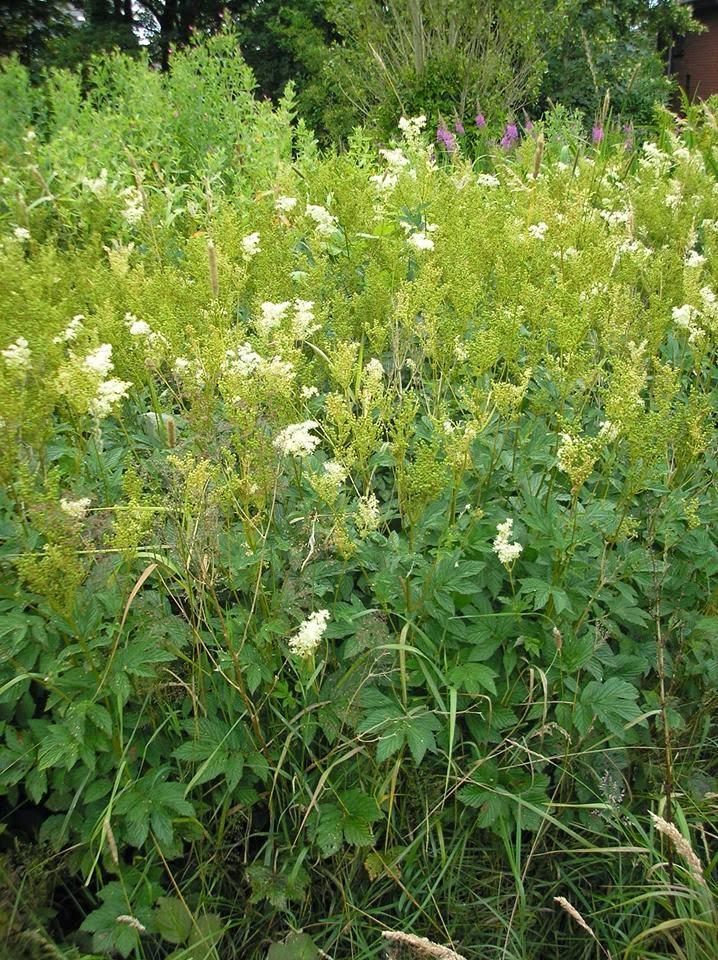 Meadowsweet, foraging and uses #lifeonpigrow