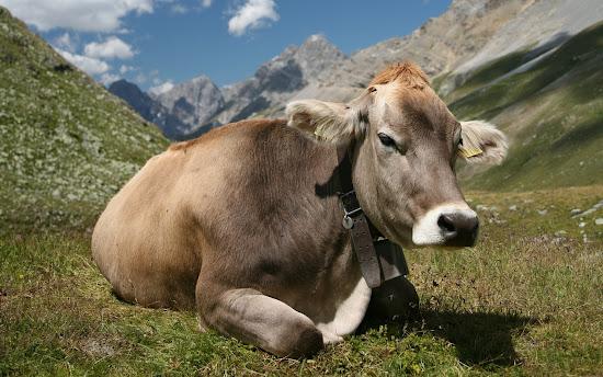 Que significa soñar con vaca