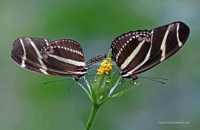 http://whereintheworldisjuergen.blogspot.com/2013/03/macro-butterfly-photography-at-magic.html#.U1UCuqKriuI