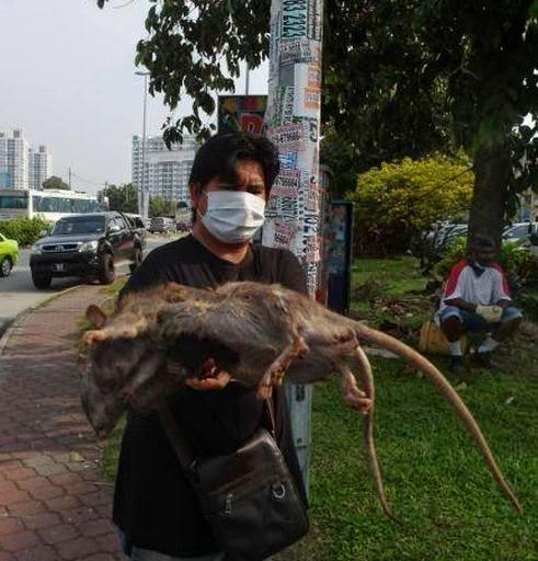 Gambar Tikus Besar Di Malaysia