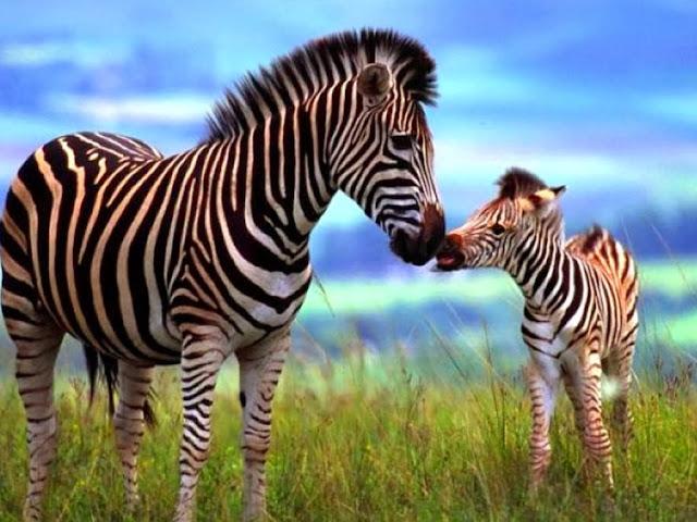 """<img src=""""http://2.bp.blogspot.com/-uZhs4rMeWvQ/UrGm6FlvdQI/AAAAAAAAF78/oEJPOus0lns/s1600/gg.jpeg"""" alt=""""Zebra Animal wallpapers"""" />"""