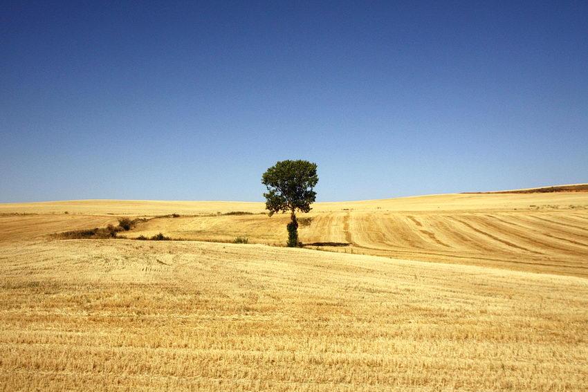 Campo com uma árvore no centro da imagem, rodeada pelo restolho do corte de uma seara. Céu azul, limpo.