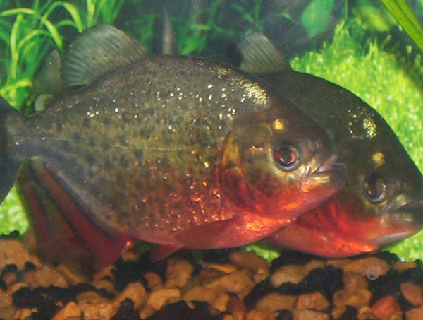 Piranhas fish facts the image kid has it for Information about fish